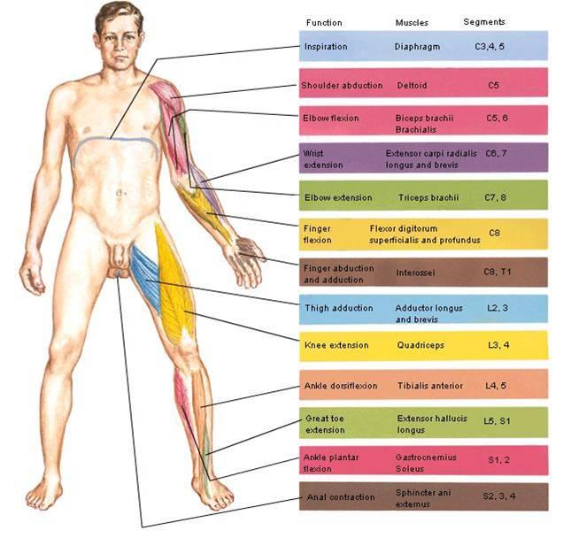 Thigh: Fascia, Myotomes, Dermatomes at University of Leeds - StudyBlue